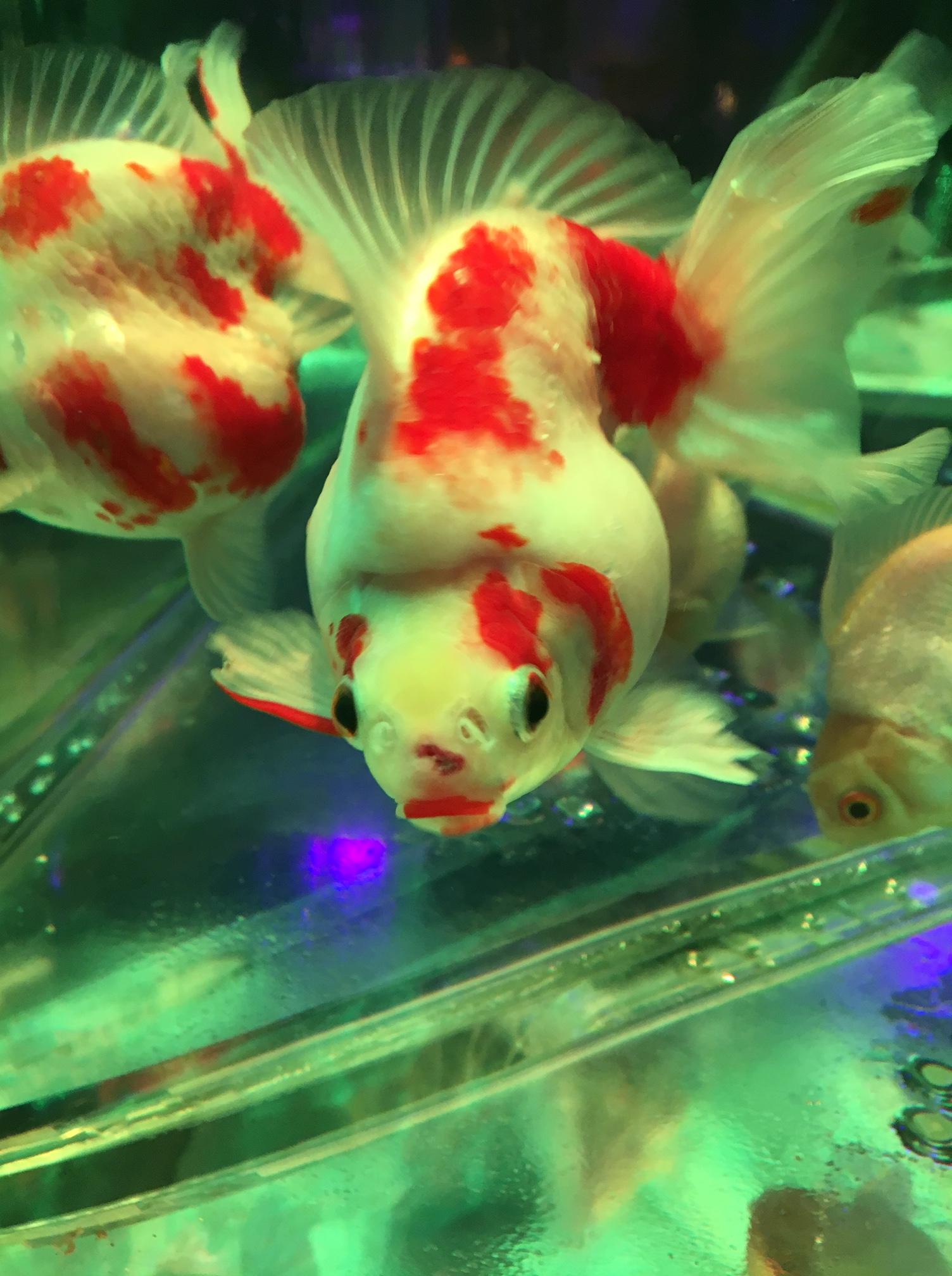 金魚がいっぱい@銀座